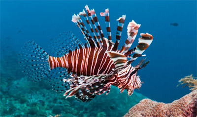 The Lionfish problem in the Caribbean Virgin Islands